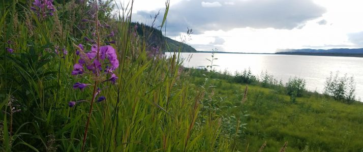Yukon river with green grass and purple flower in foreground
